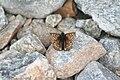 Melitaea cinxia, Vanoise - img 22704.jpg