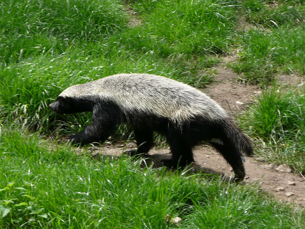 The average litter size of a Honey badger is 2