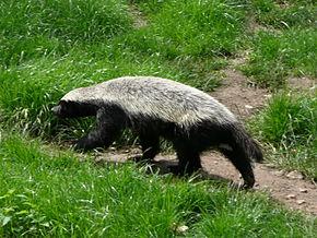 Un animal - ajonc - 5 decembre Bravo Martine  290px-Mellivora_capensis_in_Howletts_Wild_Animal_Park