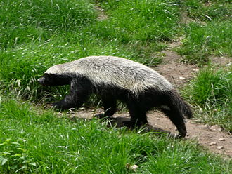 Honey badger - Image: Mellivora capensis in Howletts Wild Animal Park