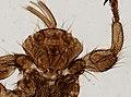 Melophagus ovinus (YPM IZ 093761).jpeg
