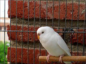 Ino budgerigar mutation - Image: Melopsittacus undulatus albino in cage 3