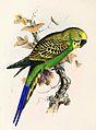 Melopsittacus undulatus 1869.jpg