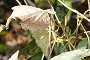 Menispermum canadense 8297.jpg