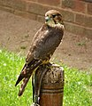 Merlin. Falco columbarius (48451837772).jpg