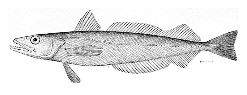 https://upload.wikimedia.org/wikipedia/commons/thumb/5/52/Merluccius_bilinearis.jpg/799px-Merluccius_bilinearis.jpg