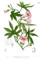 Merremia tuberosa Blanco1.81.png