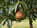 Mesua ferrea fruit Agumbe.jpg