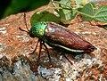 Metallic Wood Boring Beetle (Sternocera sternicornis orientalis syn. Sternocera basalis) W IMG 2894.jpg