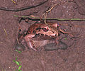 Mexican White-lipped Frog.jpg