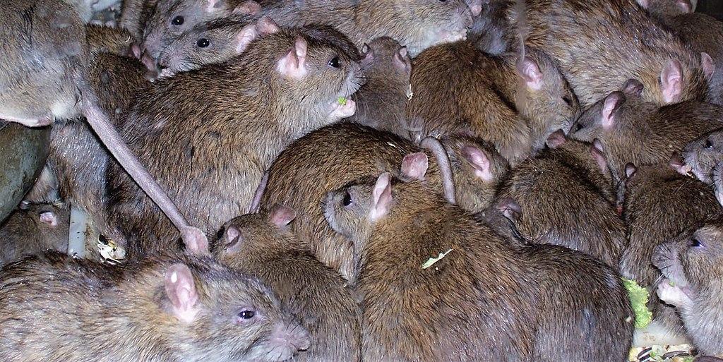 Australian Mouse Plague Sparks Debate Around Toxic Substances