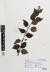 M. pyrifolia