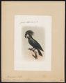 Microglossum aterrimum - 1861 - Print - Iconographia Zoologica - Special Collections University of Amsterdam - UBA01 IZ18600035.tif