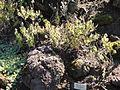 Micromeria pineolens - Botanischer Garten, Frankfurt am Main - DSC02369.JPG