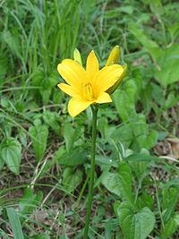 Middendorfii var. esculenta f. musashiensis-01