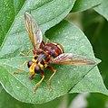 Milesia crabroniformis. Syrphidae - Flickr - gailhampshire (1).jpg
