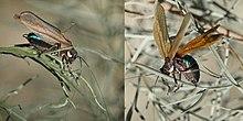 Grasshopper mimics wasp