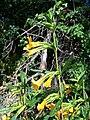 Mimulus aurantiacus-1.jpg