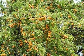 File:Mirabelle (Prunus domestica subsp. syriaca) (21235863905).jpg
