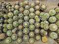 Mobarakabad, Qom-Cactaceae in Iran گلخانه کاکتوس، روستای مبارک آباد قم 24.jpg
