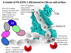 Cartoon summarising factor H:C3b complex.