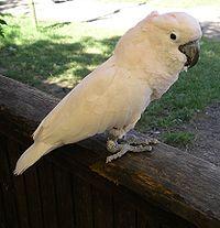 Moluccan cockatoo 31l07