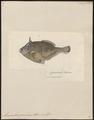 Monacanthus granulosus - 1700-1880 - Print - Iconographia Zoologica - Special Collections University of Amsterdam - UBA01 IZ15400159.tif