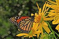 Monarch - Danaus plexippus on Silphium, National Arboretum, Washington, D.C. (36536009932).jpg