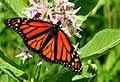 Monarch Nectaring on Showy Milkweed Seedskadee NWR (16041524524).jpg