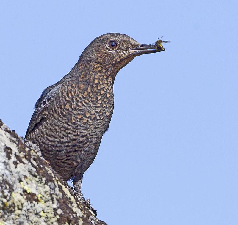 Monticola solitarius - Passero solitario - Uccelli