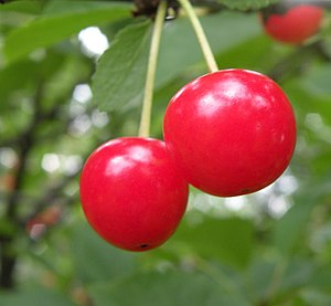 Montmorency cherry - Montmorency cherries