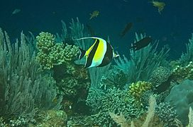 Moorish idol 3.jpg