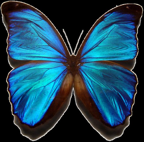 حيوانات باللون الازرق 610px-Morpho_menelau