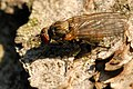Morpholeria.ruficornis.-.lindsey.jpg