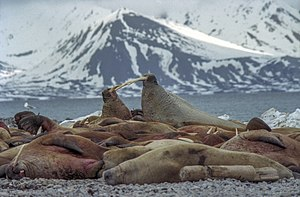 Forlandet National Park - Walrus colony on Prins Karl Forland, photographed in 2003