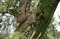 Mosquero Pinero, Pine Flycatcher, Empidonax affinis (9707616338).jpg