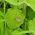 Moth Hawaiian Beet Webworm (Spoladea recurvalis) from Madayipara DSCN2058.jpg
