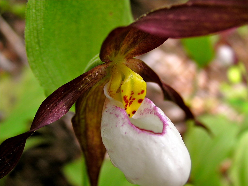 a description of the plant ladys slipper cypripedium Giant yellow hardy lady slipper an established clump of cypripedium parviflorum var pubescens is truly a breathtaking sight our flowering-sized plants of cypripedium parviflorum var pubescens are nursery-propagated from seed.