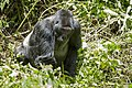 Mountain gorilla (Gorilla beringei beringei) 23.jpg