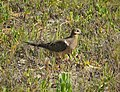 Mourning Dove. Zenaida macroura (24393679128).jpg
