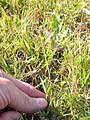 Muhlenbergia asperifolia (3919664470).jpg