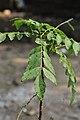 Murraya koenigii - Howrah 2011-11-07 6970.JPG