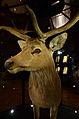 Mus Nat Hist Nat 25022013 Cervus schomburgki 1.jpg