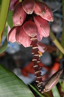 <i>Musa ornata</i> species of plant