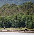 Muskoxen-Troms-Norway-2011.jpg