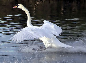 Landing - A mute swan landing on a stretch of water. Note the ruffled feathers on top of the wings indicate that the swan is flying at the stalling speed. The extended and splayed primary flight feathers act as lift augmenters in the same way as an aircraft's slats and flaps.