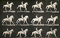 Muybridge, Eadweard(1830-1904) - Animal Locomotion - (1887) - plate 617.jpg