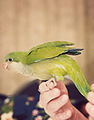 Myiopsitta monachus -pet perching on fingers-8a.jpg