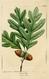 NAS-001 Quercus alba.png