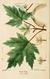 NAS-040 Acer saccharinum.png